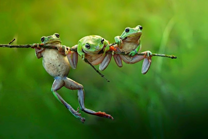 Acrobatic-tree-frogs-in-B-015